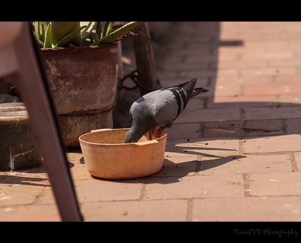 dove thirsty