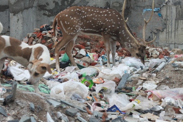 Deer eating plastics 001
