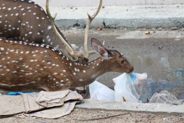 Deer eating plastics 002