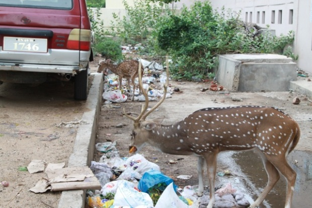 Deer eating plastics 003